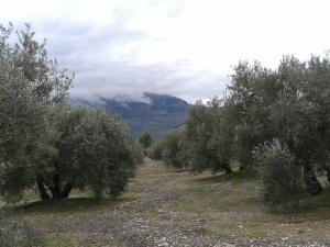 encarnacionMedinaArjona olivos